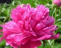 芍药花的寓意和象征,寓意依依些别/古代象征爱情之花