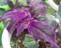 紫鹅绒叶子软了怎么办,补充光照/合理水肥/增加空气湿度