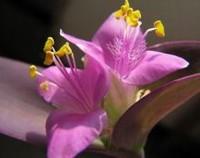 紫鸭趾草怎么栽漂亮,定期浇水施肥/及时修剪和预防病虫害