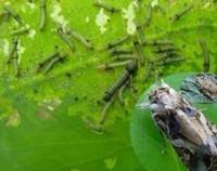 假龙头花的病虫害防治,发现用杀虫喷雾(附预防措施)