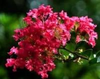 百日红花语是什么,百日红的民间传说