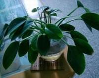 绿帝王蔓绿绒水培方法,更加清洁卫生和环保无污染