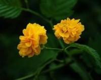 棣棠花的花语是什么,棣棠花的传说故事/高贵