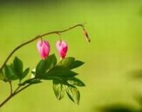荷包牡丹花语是什么,荷包牡丹的历史传说/答应追求