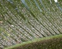 苏铁容易生虫吗,苏铁的病虫害防治(3虫/介壳虫用药喷)