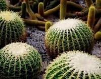 金虎仙人球的病虫害防治方法,病患处