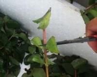 百日红怎么繁殖,百日红的繁殖方法(扦插/播种/分株)