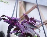 一盆紫鹅绒要多少钱,怎样使紫鹅绒叶色更鲜艳/水肥是关键