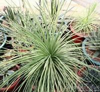 龙舌兰属植物图片