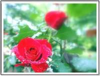 雨后的红玫瑰与小菊花