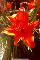 百合橙色红色百合花,摄影唯美光照