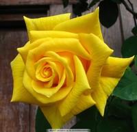 黄色玫瑰花