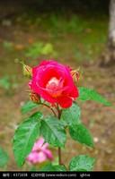 雨后红玫瑰