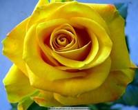 黄玫瑰花图片