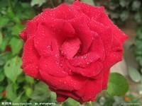 雨后红玫瑰摄影图,花草生物世界摄影图库昵图网.