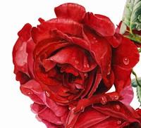 雨后的红玫瑰水彩
