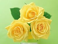 三朵黄玫瑰玫瑰花,花卉花艺术自然花世界鲜花海报素材