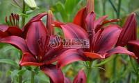 红色百合花摄影图片