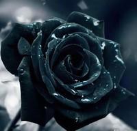 黑玫瑰图片欣赏黑玫瑰花语大全