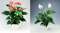 美丽的火鹤和白鹤芋也是典型的佛焰花序.图片来源:hartsnursery.