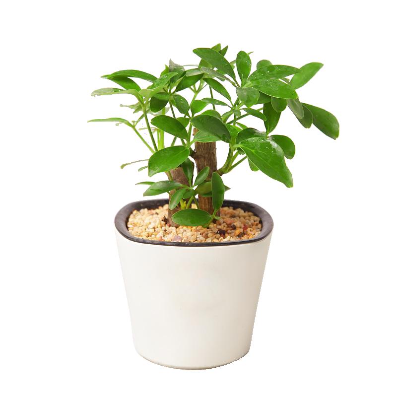 小型鸭脚木盆栽免费下载小型鸭脚木盆栽