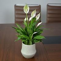 同城花易购盆栽绿植,经典白掌一帆风顺,白鹤芋室内高档花卉净化