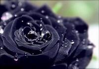 神秘黑玫瑰神秘黑玫瑰图片,高清图片大全图库-回车桌面