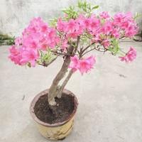 野生杜鹃花盆景图片
