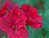 蝴蝶梅什么时候开花,蝴蝶梅花期多长