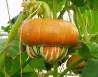 观赏南瓜怎么繁殖,观赏南瓜的繁殖方法/播种繁殖为主