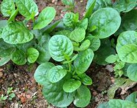 落葵的功效与作用,清热解毒/富含营