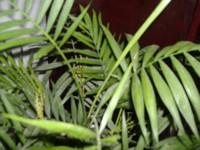 没想到棕竹也开花的,很惊喜;棕竹又称观音竹,这观音竹与滴水观音花