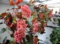 竹节秋海棠是浅根系植物性喜半阴.