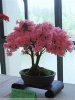 美丽的杜鹃花盆景