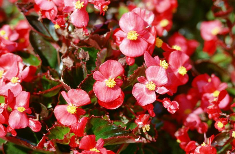 四季海棠和竹节海棠均可全草入药,味微苦性凉清热利水具有治疗感冒