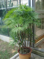 在台湾人们认为观音棕竹可以带来平安.