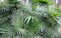 a:检查一下观音棕竹在冬天是否受了冻害,它的越冬温度不能低于5