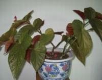 竹节海棠怎么养,竹节海棠的养殖方法