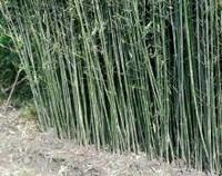 刚竹能种室内吗,为什么院里不栽刚竹(不能/影响财运)