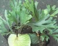 鹿角蕨有哪些品种,好养的鹿角蕨品种及图片/六大品种介绍