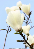 木棉花图片白色