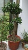 玉树老桩盆景图片