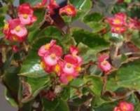 四季秋海棠只长叶不开花怎么办,适宜