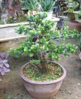 大中小型小叶罗汉松盆景米罗珍珠罗汉松