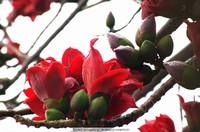 木棉花红棉市花英雄花,花草生物世界摄影白色