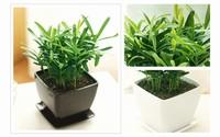 大叶小叶罗汉松,创意盆栽绿植花卉绿色植物,办公室防辐射盆栽