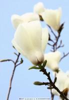 木棉花白色图片