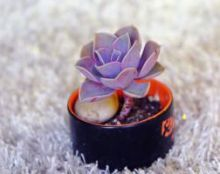 紫珍珠的功效与作用,叶色迷人观赏性强/净化空气吸电辐射