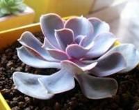 紫珍珠多肉怎么养,紫珍珠的养殖方法和注意事项/喜光怕晒