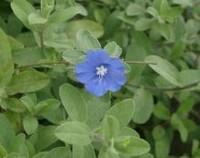 蓝星花冬天怎么养,蓝星花冬天叶子变黄(少浇水/要保暖)